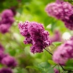 A Wish List for a Cottage Garden That Needs a Little TLC - budleia